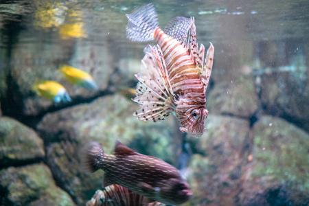 The red lionfish Pterois volitans aquatic exotic aquarium fish macro view still life scene Stock Photo