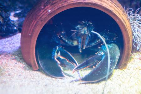 Big lobster peeping out of jug under water. Imagens