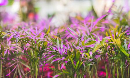 Green houseplants under the light of an ultraviolet lamp