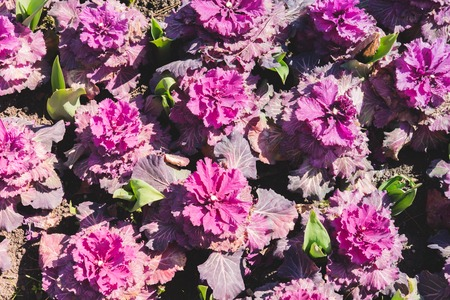 Floral pattern from flowers of decorative cabbage of white and pink color growing on brown earth.