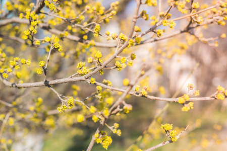 Flowers and buds of yellow color on tree in early spring. Concept of awakening nature from hibernation. Reklamní fotografie