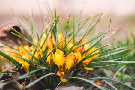 Yellow crocuses flowers in the garden, spring time. Reklamní fotografie