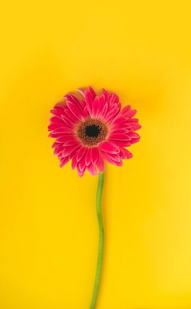 Bright beautiful gerbera flowers on sunny yellow background. Concept of warm summer and early autumn. Place for text, lettering or product. View from above, Copy space. Flatlay. Stok Fotoğraf