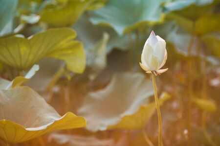 Beautiful white lotus on lotus lake at sunset. Concept of calm, harmony and peace.