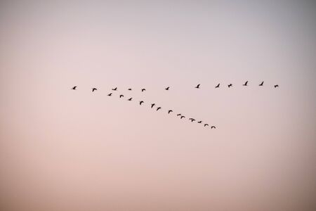 Flock of birds flies at sunset. Storks fly south.