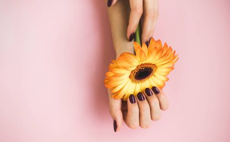 Female beautiful hands with purple manicure hold a yellow gerbera flower on pink paper background. Hand and nail care concept. Stock Photo