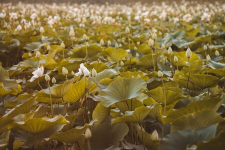 Beautiful white lotus on lotus lake at sunset. Concept of calm, harmony and peace. Banco de Imagens - 129062697