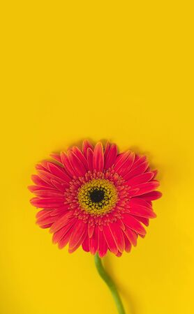 Bright beautiful gerbera flowers on sunny yellow background. Concept of warm summer and early autumn. Place for text, lettering or product. View from above, Copy space. Flatlay. Stock Photo - 129062700