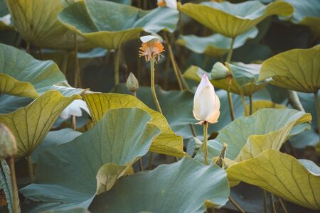 Beautiful white lotus on lotus lake at sunset. Concept of calm, harmony and peace. Stock Photo - 129062701