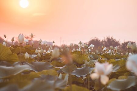 Beautiful white lotus on lotus lake at sunset. Concept of calm, harmony and peace. Stock Photo - 129062705