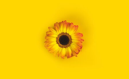 Bright beautiful gerbera flowers on sunny yellow background. Concept of warm summer and early autumn. Place for text, lettering or product. View from above, Copy space. Flatlay. Banco de Imagens