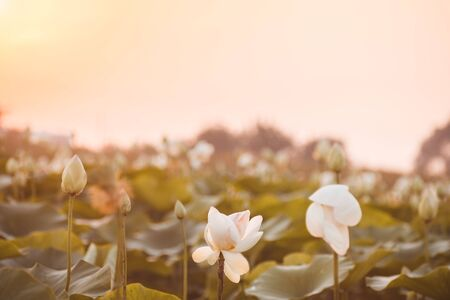 Beautiful white lotus on lotus lake at sunset. Concept of calm, harmony and peace