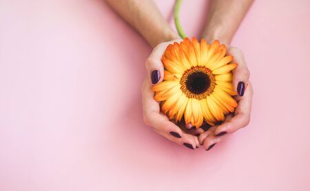 Female beautiful hands with purple manicure hold a yellow gerbera flower on pink paper Banco de Imagens