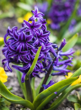 Violet hyacinth flowers growing on the ground in the garden. Spring flowering