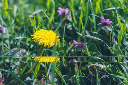 Bright yellow dandelion among green grass. Summer texture background. 版權商用圖片