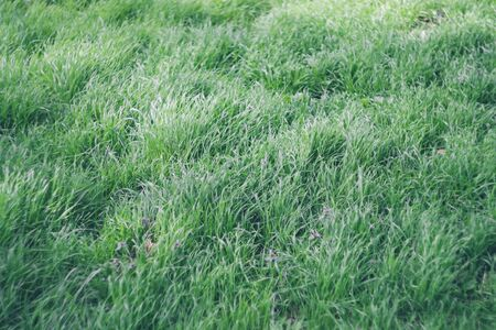 Fresh juicy green grass in the forest, field, park. Textural natural background. Copyspace