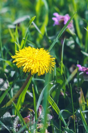 Bright yellow dandelion among green grass. Summer texture background