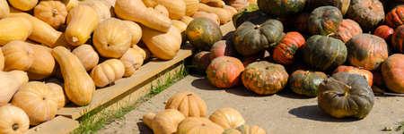 Autumn bright yellow orange ripe pumpkin fruits lie in a heap