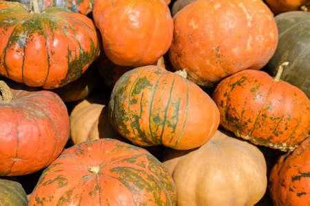 Autumn bright yellow orange ripe pumpkin fruits lie in a heap.
