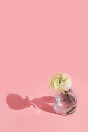 White flowers and ranunculus petals in glass vase on a pink background with hard light. Spring, summer, bloom.