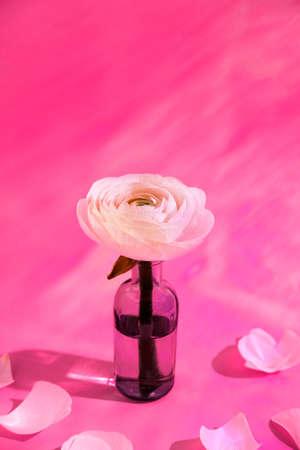 White flowers and ranunculus petals in glass vase on a pink background with hard light. Spring, summer, bloom Reklamní fotografie - 159019691