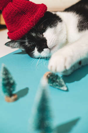 Funny black and white tuxedo cat in red hat plays with New Years and Christmas toys tree on blue background. Christmas with pets, precautions. Reklamní fotografie - 159199447