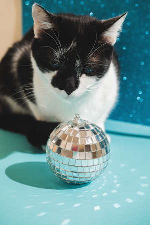 Funny black and white tuxedo cat plays with New Years and Christmas toys disco ball on blue background. Christmas with pets, precautions. Reklamní fotografie - 159199879
