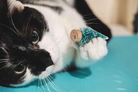 Funny black and white tuxedo cat plays with New Years and Christmas toys tree on blue background. Christmas with pets, precautions. Reklamní fotografie - 159253150