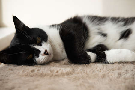 Funny cute black and white Tuxedo cat lying in the sun on soft blanket near window on windowsill and looking at camera.