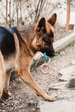 Funny purebred German shepherd dog plays with rubber toy in the yard on the street.