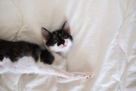 Funny black and white tuxedo cat lying on white bed and looking at camera.