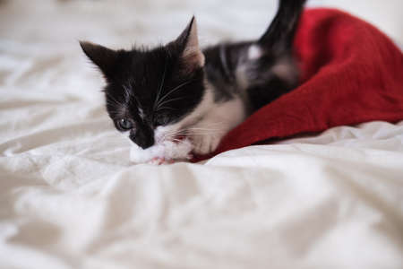 Funny black and white tuxedo cat lying on bed and plays with Christmas hat on white background. Reklamní fotografie
