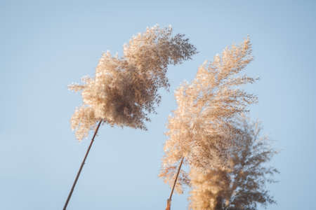 Branches of dry reed pampas grass against the blue sky at sunset.