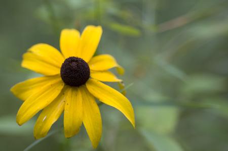 susan: Black-eyed Susan flower Stock Photo