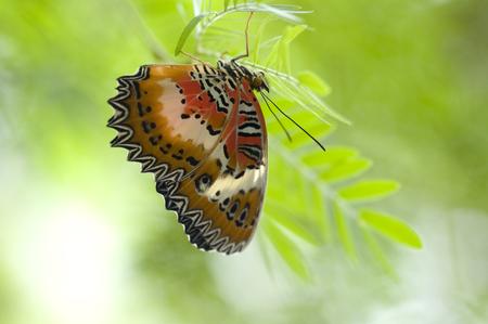biblis: Red Lacewing (Cethosia biblis) Stock Photo