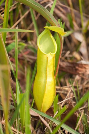 predatory insect: Nepenthes in the wild