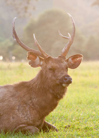 ungulate: Deers on the green meadow