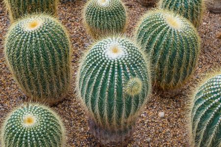 Group of golden ball cactus Stock Photo