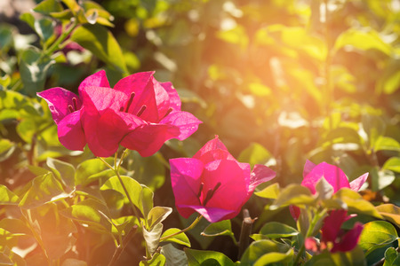 color bougainvillea: Pink bougainvillea flower with leaves beautiful in the garden background