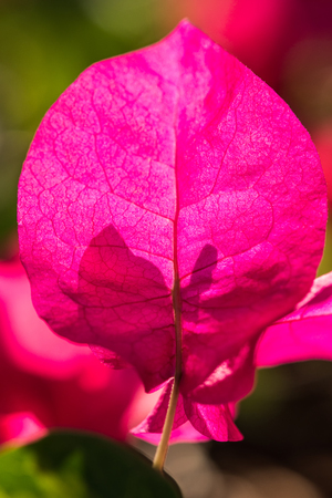 color bougainvillea: leaves pink bougainvillea flower with leaves beautiful in the background
