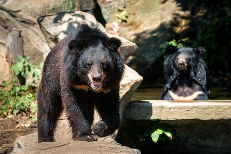 two bears sitting on the rock, facing looking camera Stock Photo