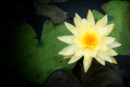 Yellow Lotus flower beautiful lotus