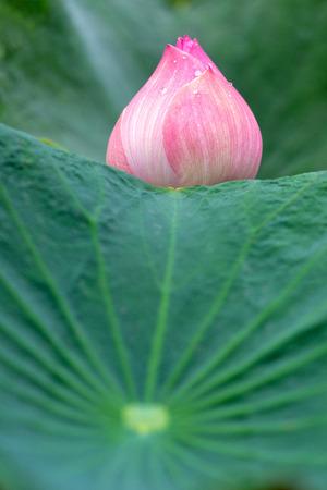 Pink Lotus flower beautiful lotus