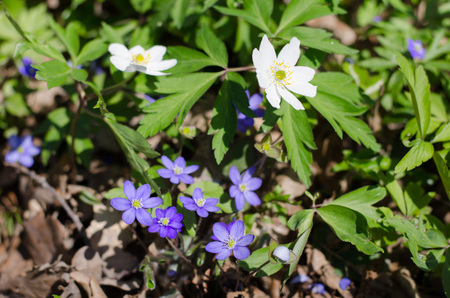 blue and wood anemone in the forest during spring, peaking out under the dead leaves.