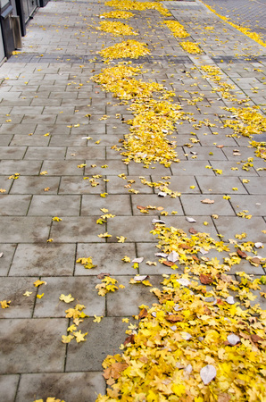 Fallen yellow maple leaves on pavement on a cold afternoon during fallautumn