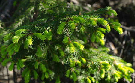Changes in nature, spruce shoots new buds