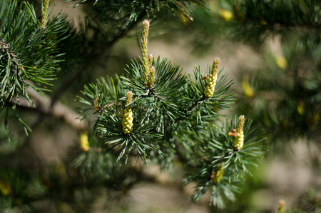 Pine growing new buds of the year during spring. Stockfoto