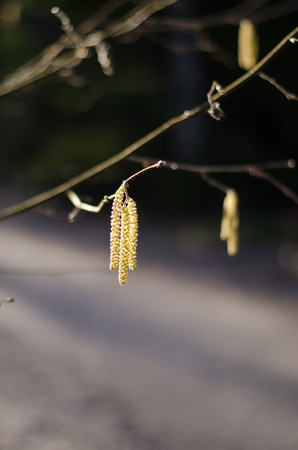 Birch tree blooming in the sun during springtime