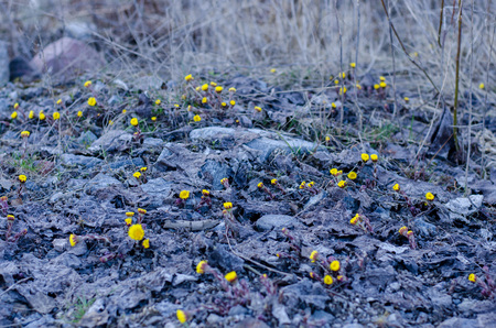 Tussilago farfara lighting up the grey ground during springtime