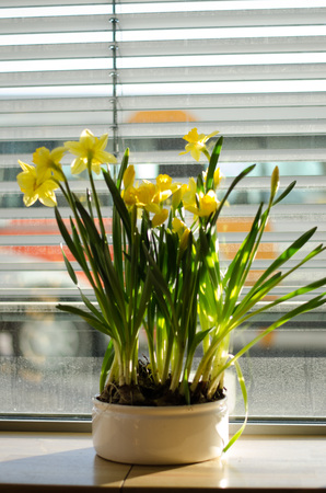 A group of narcissus pseudonarcissus in a bowl by a window during eastertime